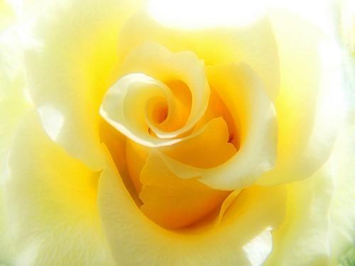 1019-rose-jaune-2.jpg
