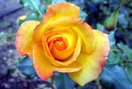 rose-jaune-1-1.jpg