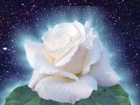Rose blanche firmament 200